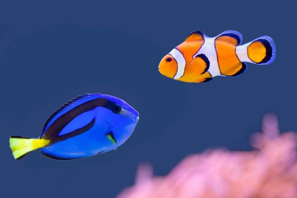 Pez marino de color negro, azul y amarillo nadando sobre fondo negro.