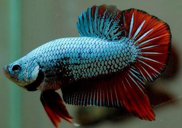 pez betta azul