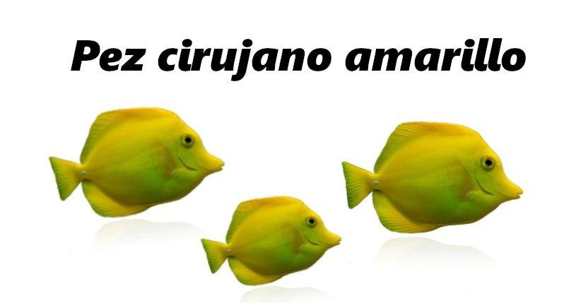 Tres peces cirujanos de color amarillo en fondo blanco.