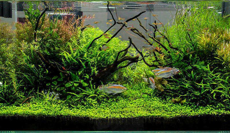 Acuario lleno de plantas troncos y peces tropicales de colores.