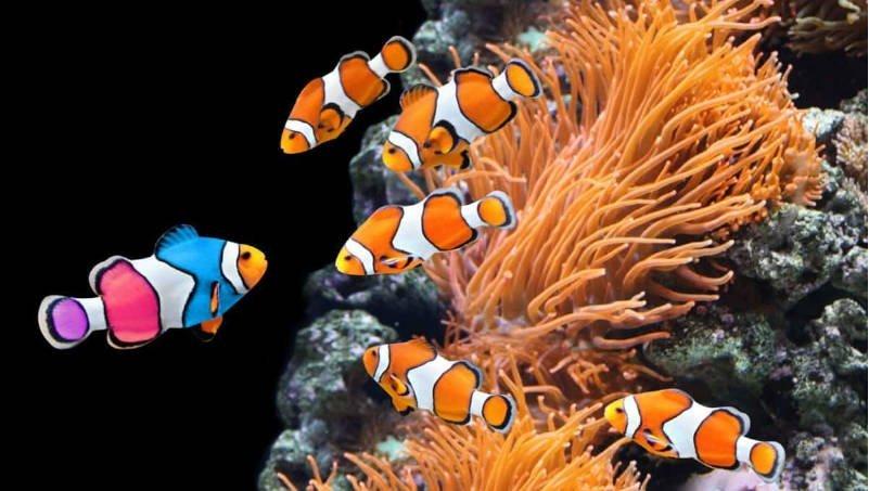 Pez payaso con franjas blancas, franjas naranjas y rayas negras flotando.