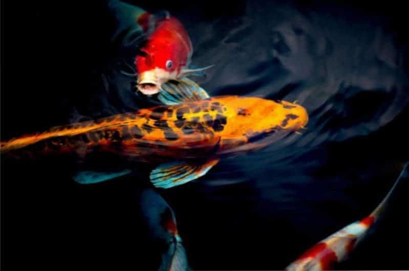 Peces koi de colores nadando en un estanque rodeado de plantas.