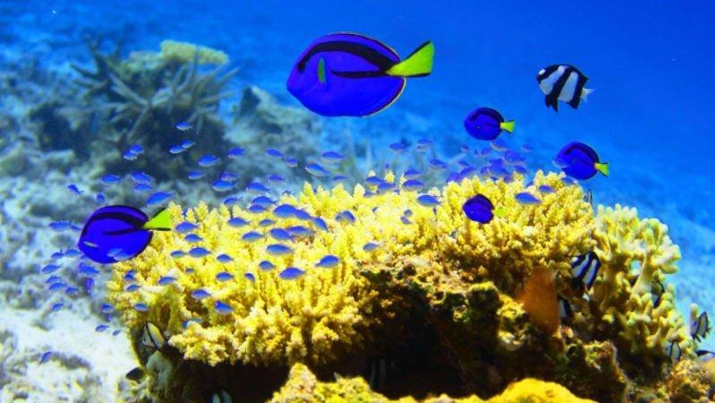 4 peces cirujanos azules acompañados por otros peces en un arrecife de coral.