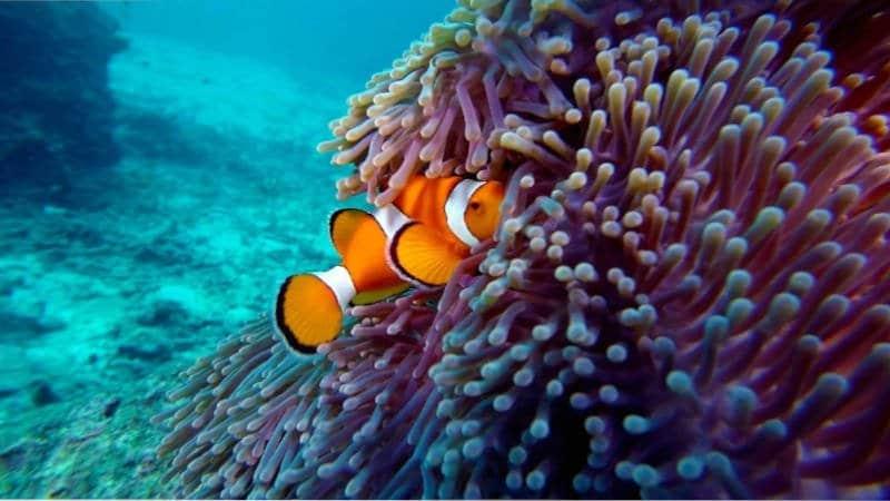 Pez payaso de color naranja y blanco flotando en el agua.