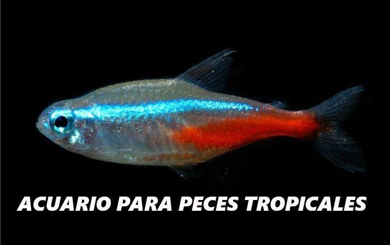 Pez tropical de color rojo, azul y gris flotando sobre un fondo negro.