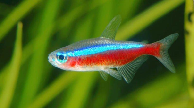 Pez tropical en un acuario, de color rojo y azul.