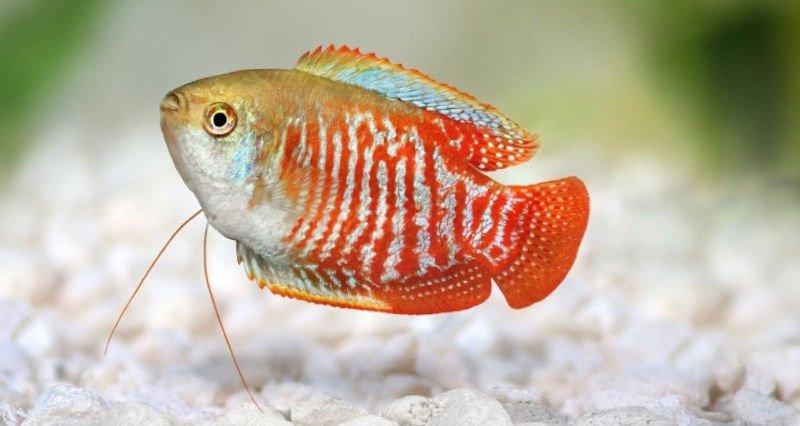 Pez tropical de color rojo, blanco y azul.