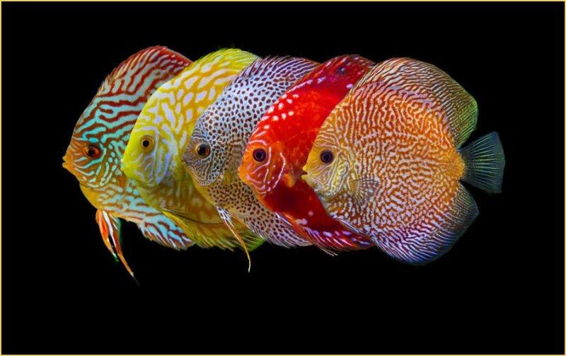 pez disco enfermo