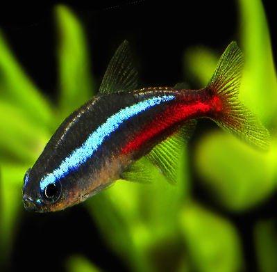 ¿Cuál es la mejor comida para peces tropicales?