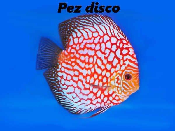 variedades de peces disco