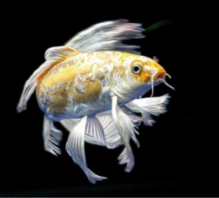 Peces Koi - todo lo que tienes que saber acerca del mejor pez de estanque.
