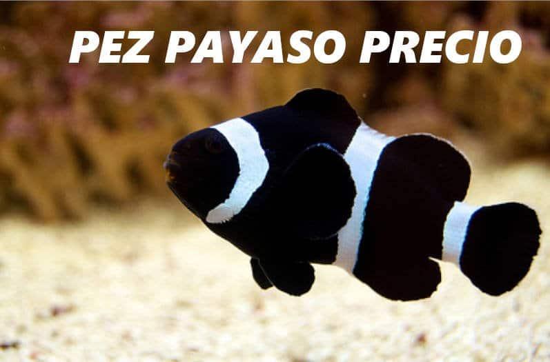 Pez payaso de color negro con rayas blancas nadando en un acuario.