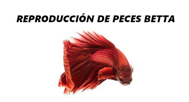pez betta reproduccion