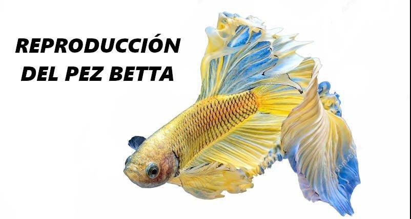 reproduccion de peces betta paso a paso