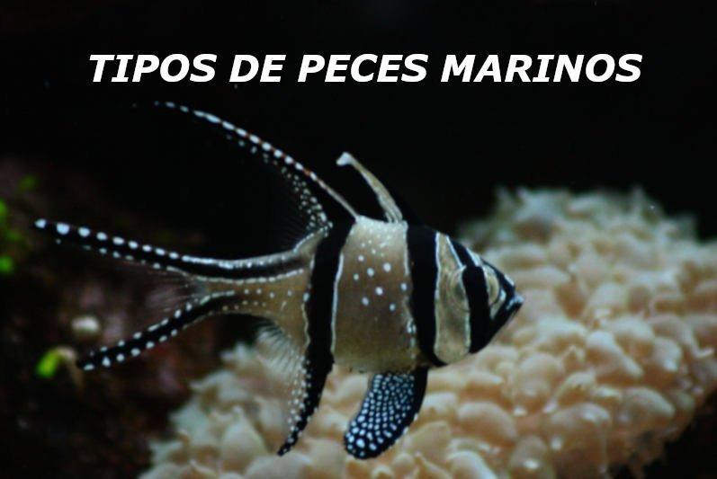 Pez marino de color blanco y negro nadando en un acuario.