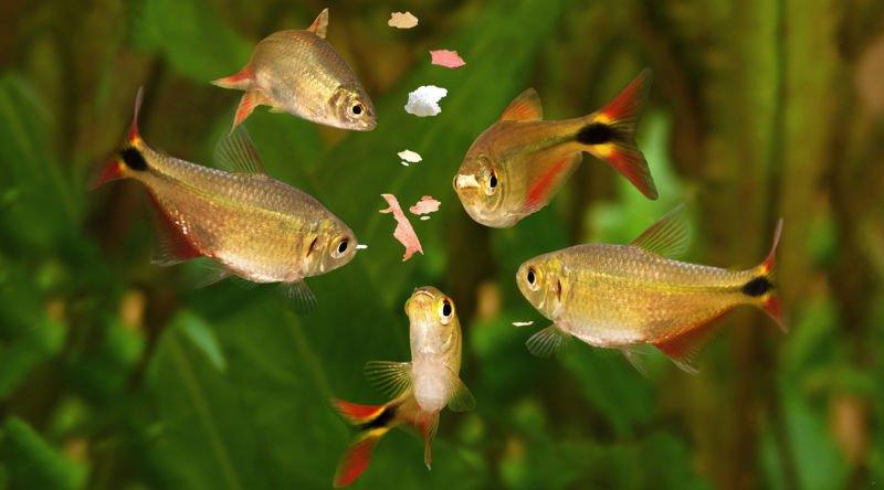 Peces comiendo comida para peces pequeños