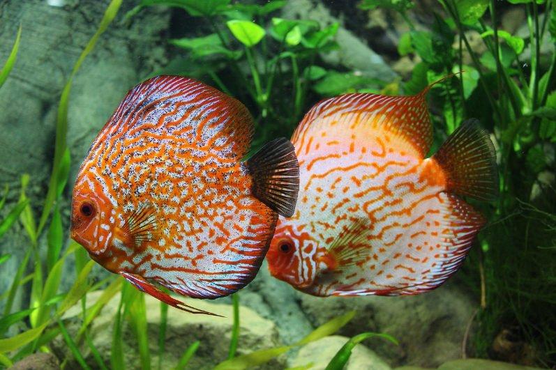 Dos peces disco enfermos.