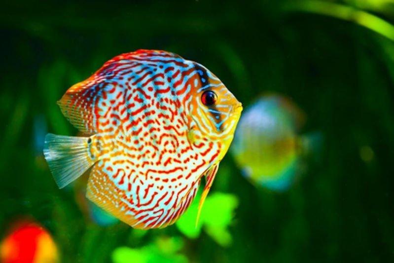 enfermedades de los peces disco