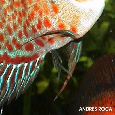 enfermedades pez disco