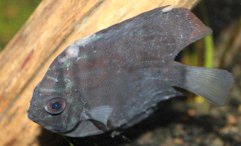 pez disco enfermo.