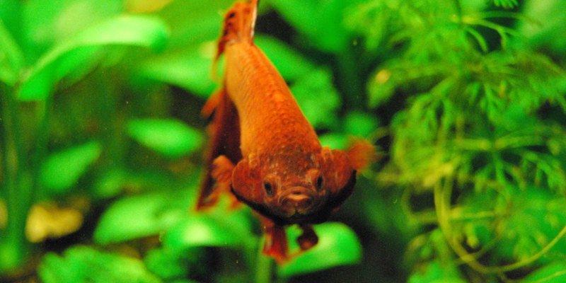 Pez betta nadando en un acuario.