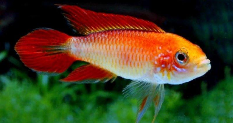 Apistogramma agassizii fire red en un acuario