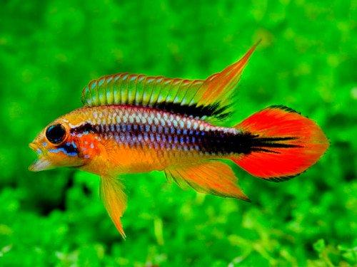 pez apistograma agazissi en un acuario