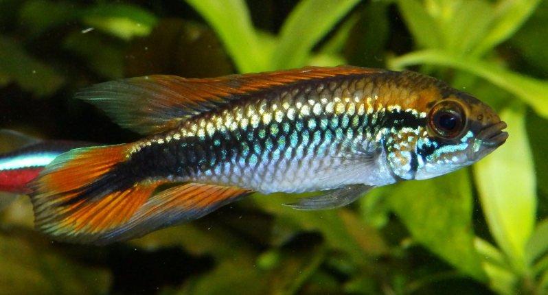 Un pez apistogramma en un acuario