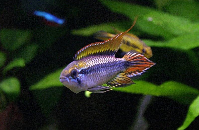 Un pez apistogramma agassizii en un acuario plantado