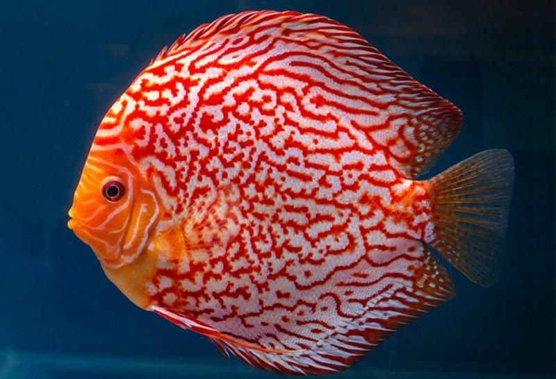 pez disco compatibilidad